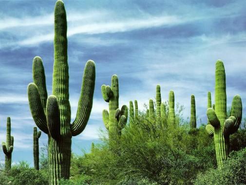 giant-saguaro-cactus-7